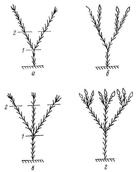 Как обрезать бегонию, можно ли прищипывать растение и как правильно провести процедуру, чтобы после неё началось пышное цветение?