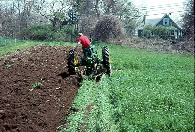 Узколистный люпин: выращивание в качестве сидерата