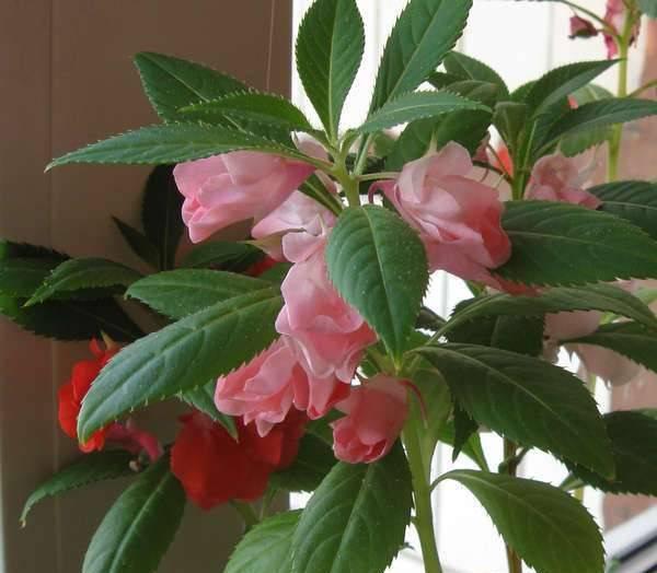 Семена бальзамина (16 фото): когда сеять на рассаду? как правильно посадить? особенности выращивания в домашних условиях