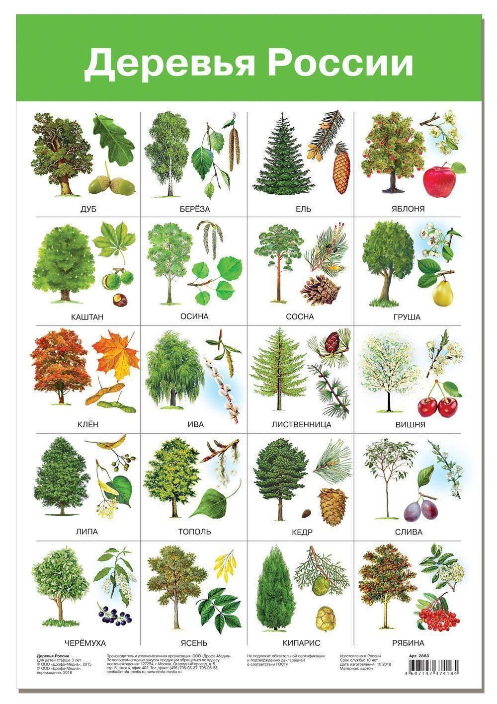 Сколько лет живут деревья – сроки жизни разных деревьев — частные заметки