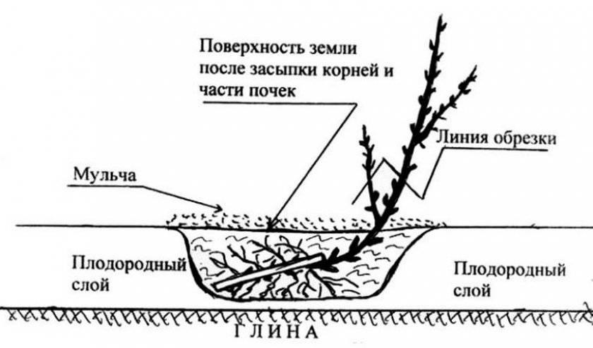 Монарда посадка и уход в открытом грунте на урале