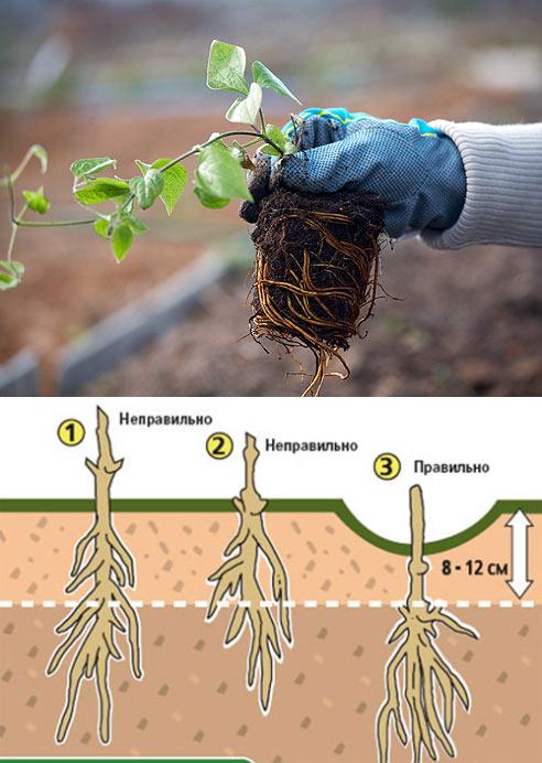 Клематисы: пересаживаем правильно куст взрослого растения, можно ли пересадить в июне