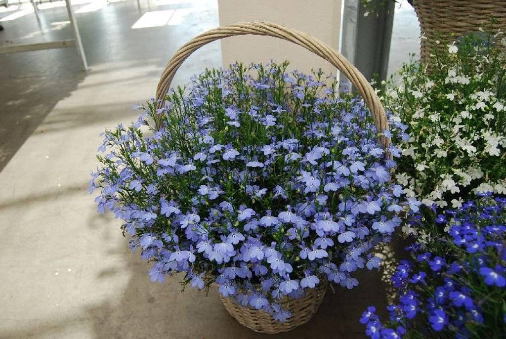 Лобелия ампельная: выращивание из семян, посадка и уход + фото