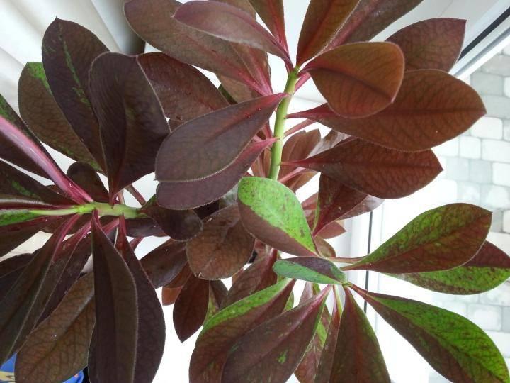 Рубра, гранта, дерево любви и другие виды синадениума — уход за цветком дома