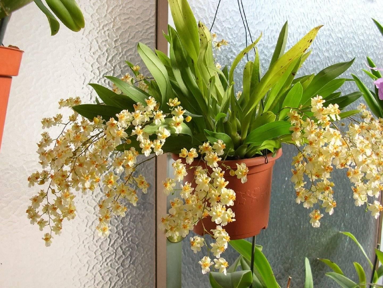 Орхидея онцидиум: описание, уход в домашних условиях, пересадка, размножение - читайте на орхис