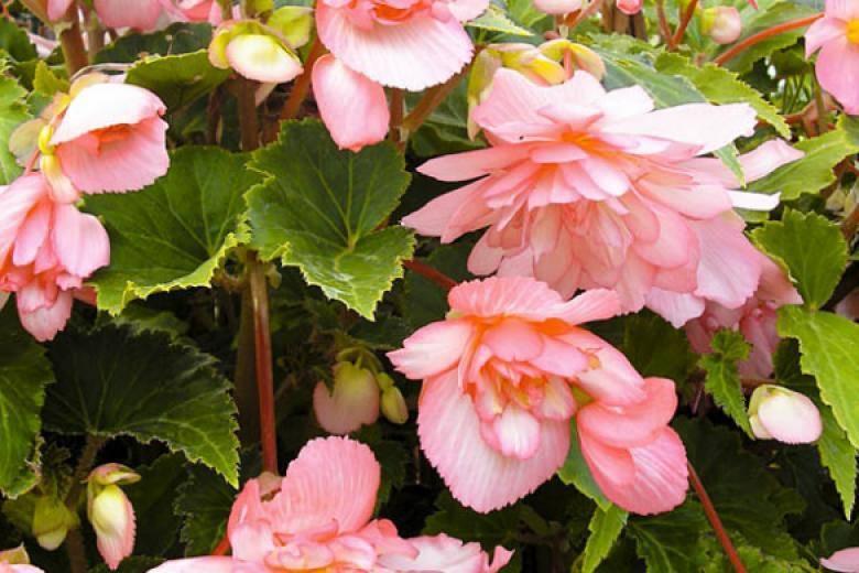 Бегония ампельная из семян: выращивание - подробная информация!