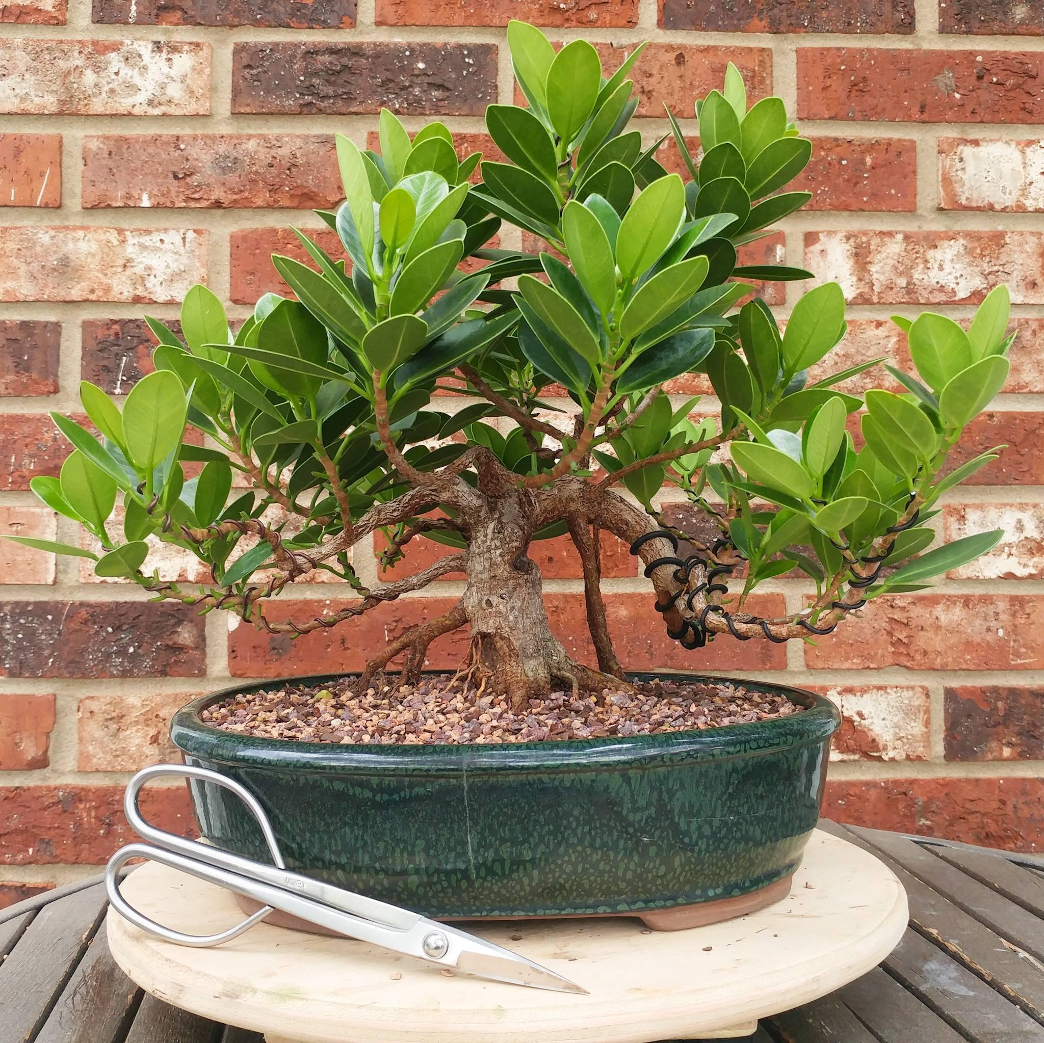 Выращивание фикуса мокламе: как посадить, ухаживать, удобрять, размножать