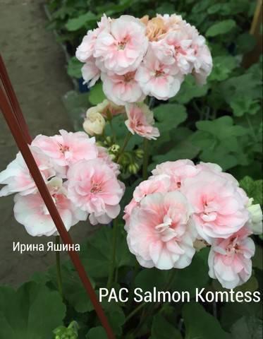 Пеларгония найт салмон — описание сортов серии salmon