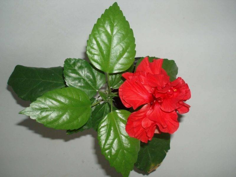 Правильный уход за китайской розой (гибискусом) в домашних условиях