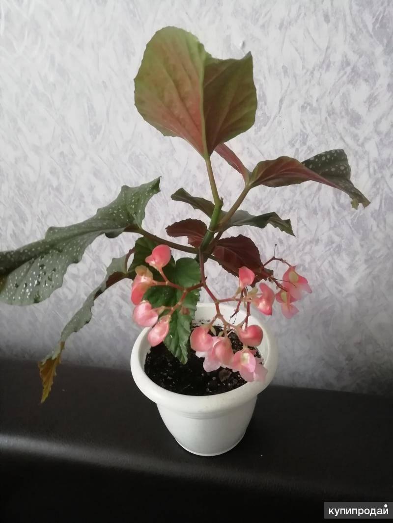 Бегония: описание и выращивание растения