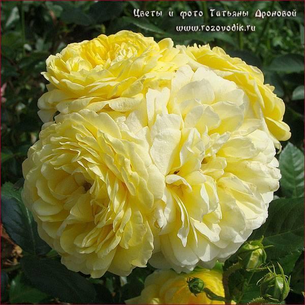 Роза грандифлора: что это такое, а также описание сортов и их фото, сравнительная таблица с другими видами растения, уход за цветком