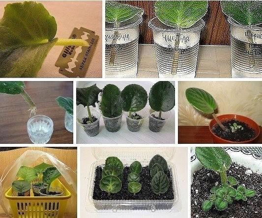 Как размножить фиалку листом в домашних условиях — пошаговая инструкция