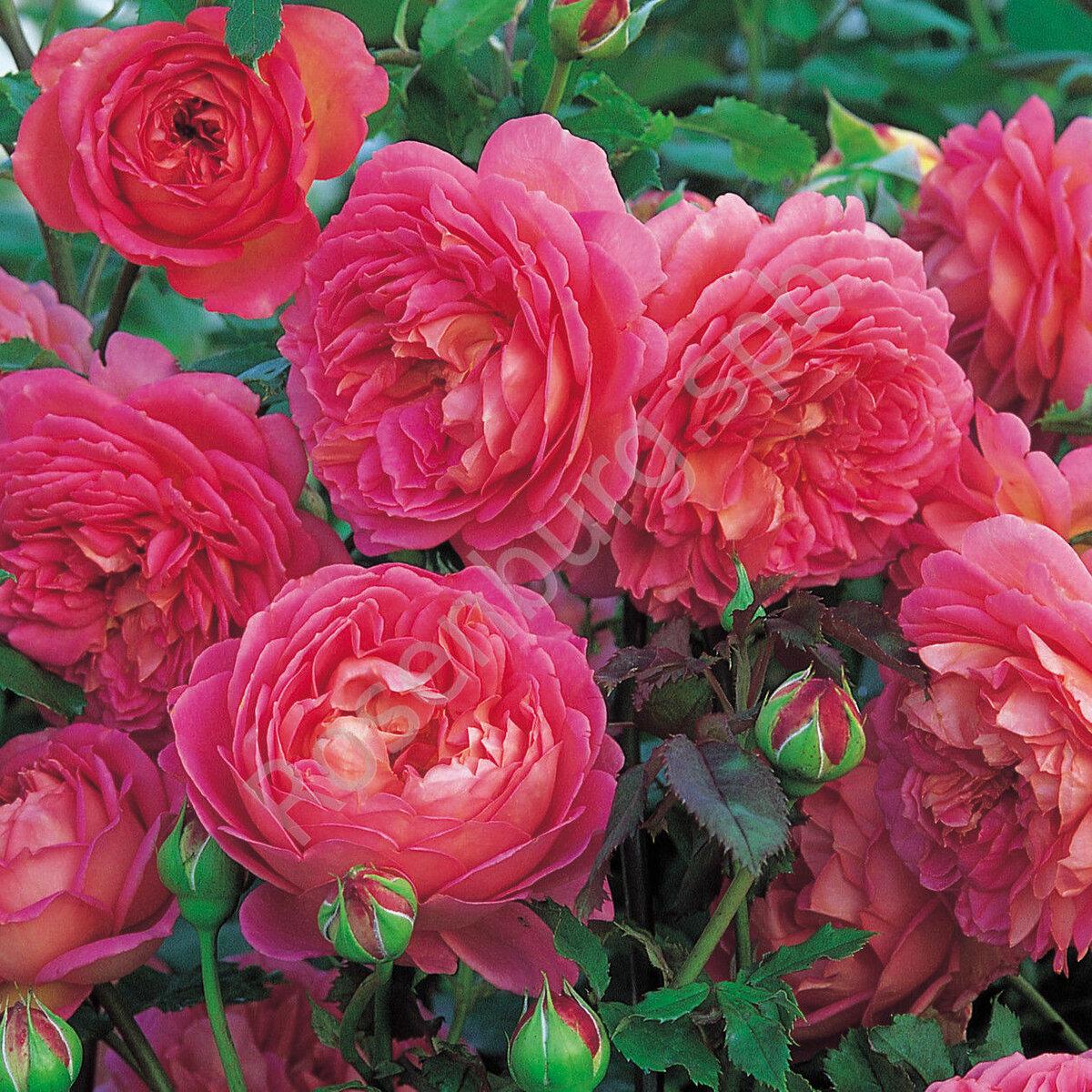 Описание чайно-гибридного сорта розы дабл делайт: уход за «двойным удовольствием»