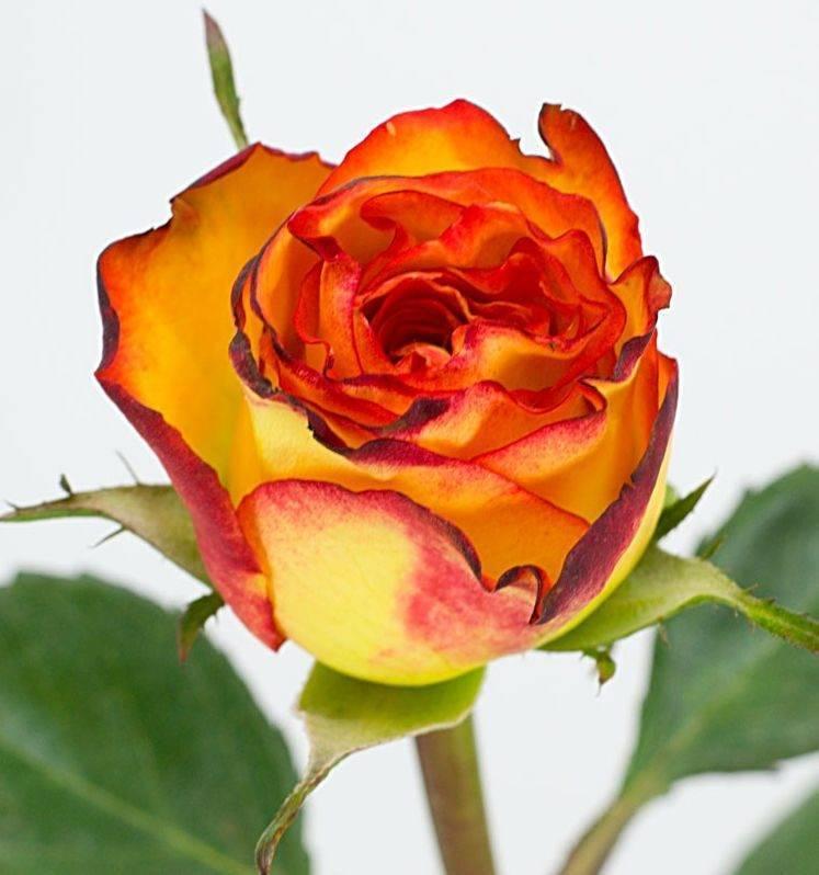 Характеристики чайно-гибридной розы сорта ашрам: преимущества и недостатки