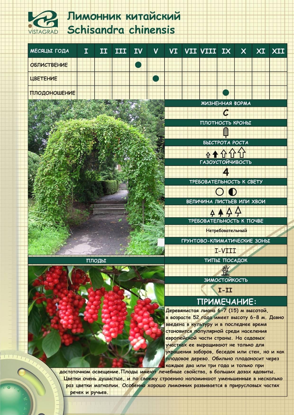 Как посадить лимонник китайский на даче: выбор места и описание сортов