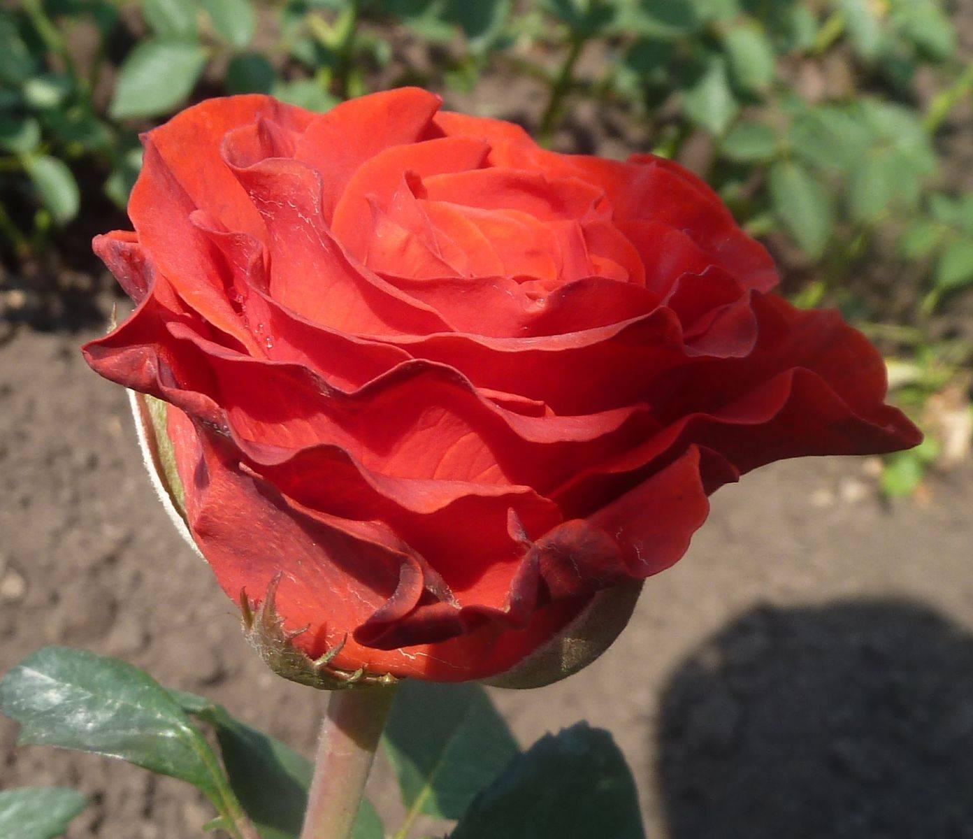 Эль торо роза описание. посадка и размножение роз эль торо. посадка и размножение роз эль торо