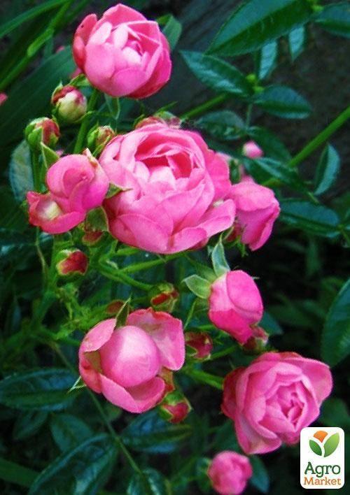 Маленькие королевы цветов – существующие сорта миниатюрных роз с фото и особенности ухода за этими растениями