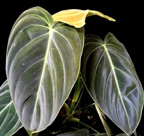Виды плющевидной лианы филодендрон: бразил, сканденс, изящный...