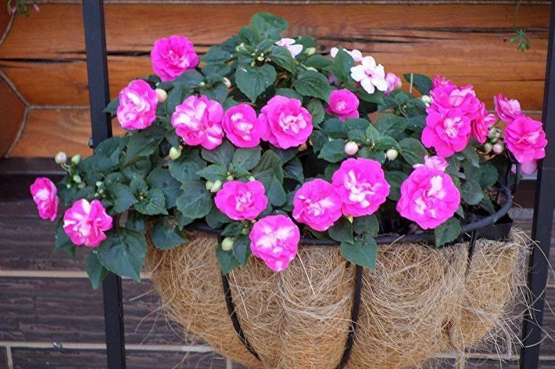 Уход за комнатным бальзамином в домашних условиях: размножение, пересадка, полив, проблемы цветения