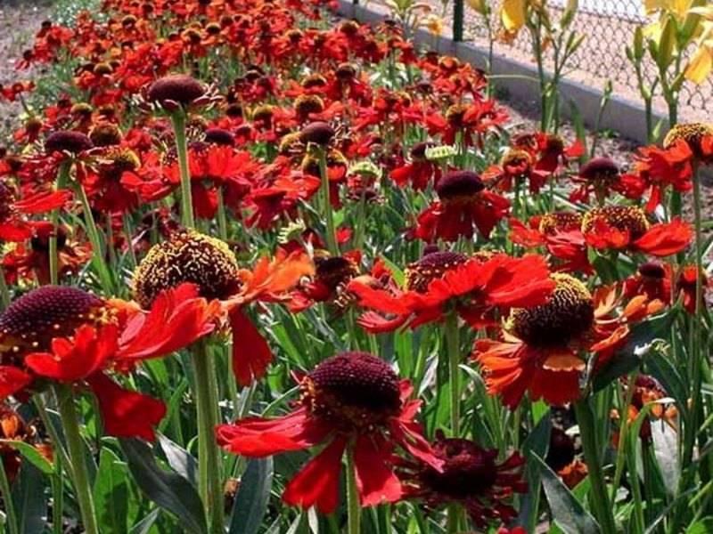 Гелениум многолетний — посадка и уход в саду