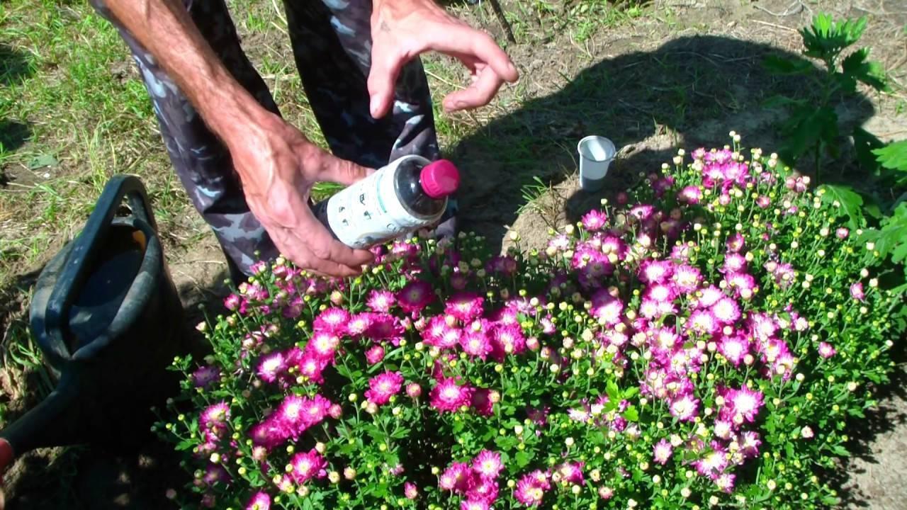 Камнеломка — яркое и неприхотливое украшение сада. посадка, уход, особенности размножения.