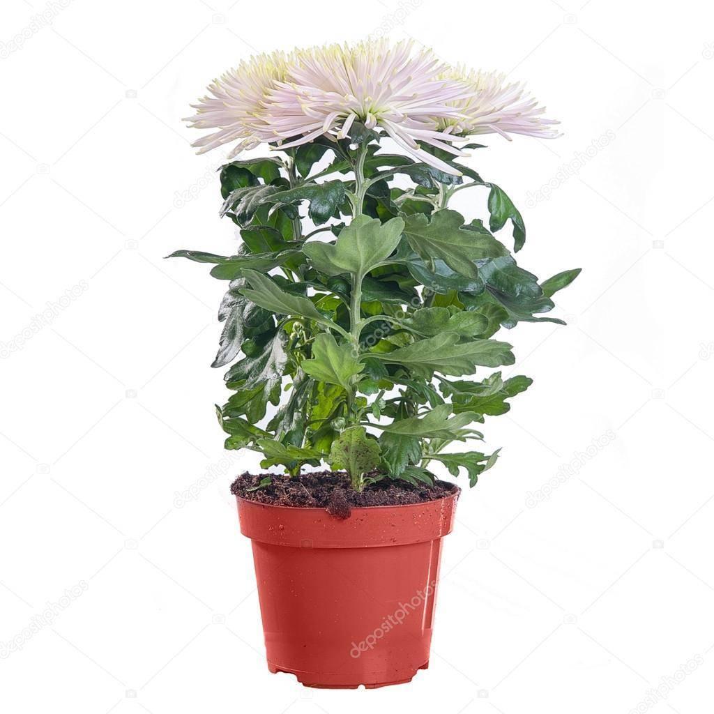 Уход за хризантемами в горшке: как ухаживать после покупки и после цветения