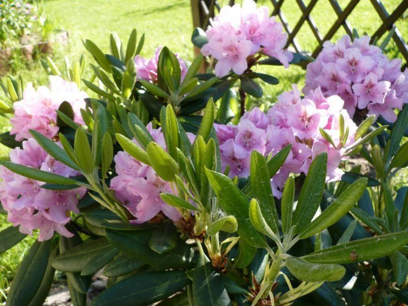Особенности рододендрона сорта хельсинки юниверсити