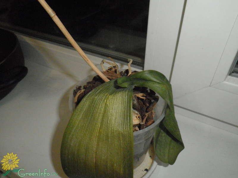 Почему у орхидеи опадают бутоны. как помочь растению зацвести.