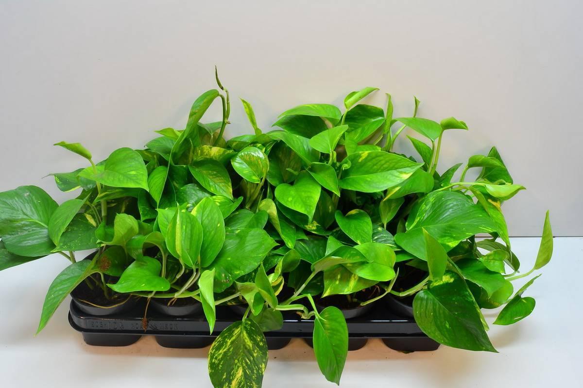 Эпипремнум: виды растения, размножение и уход в домашних условиях