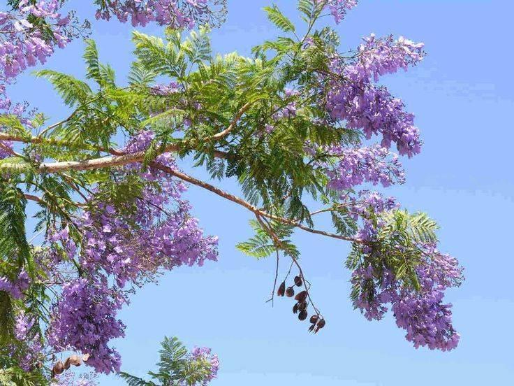 Жаккарда фиалковое дерево. где растет жакаранда, дерево с фиолетовыми цветами. подойдет ли жакаранда для формирования бонсай