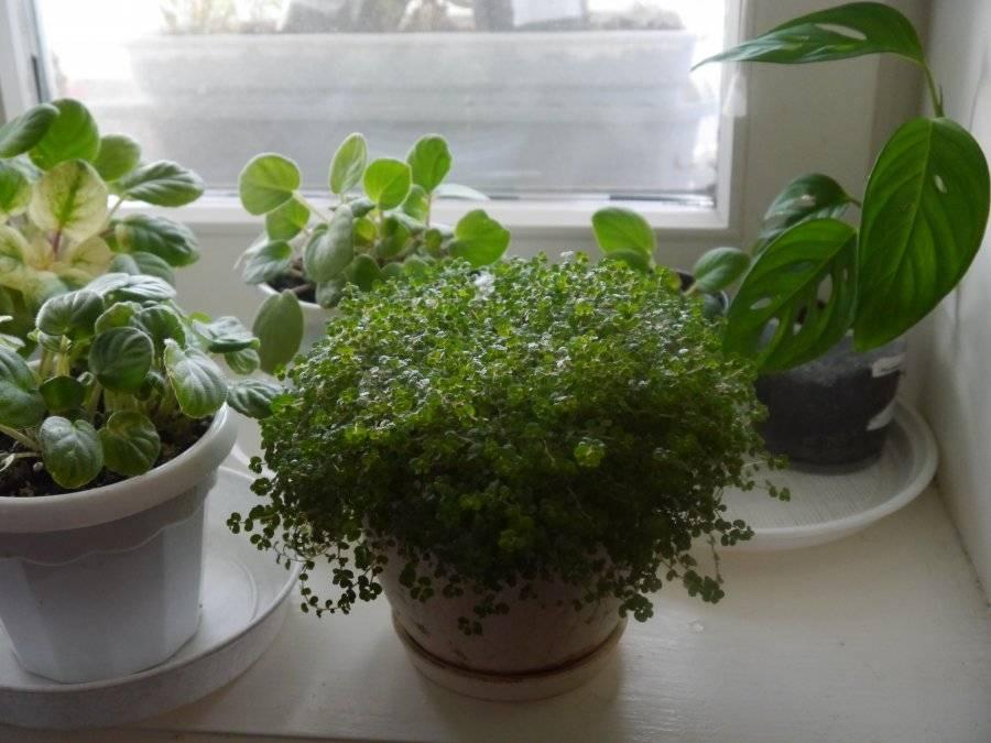 Солейролия — уход в домашних условиях и размножение