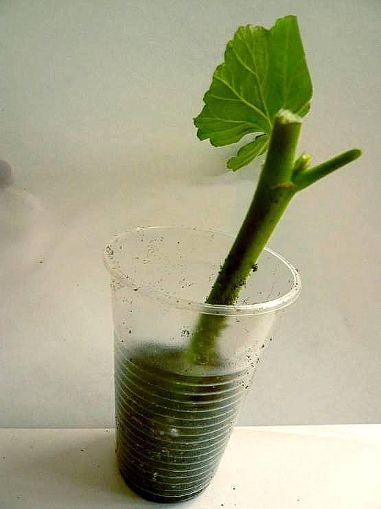 Размножение антуриума отростком: как посадить без корней?