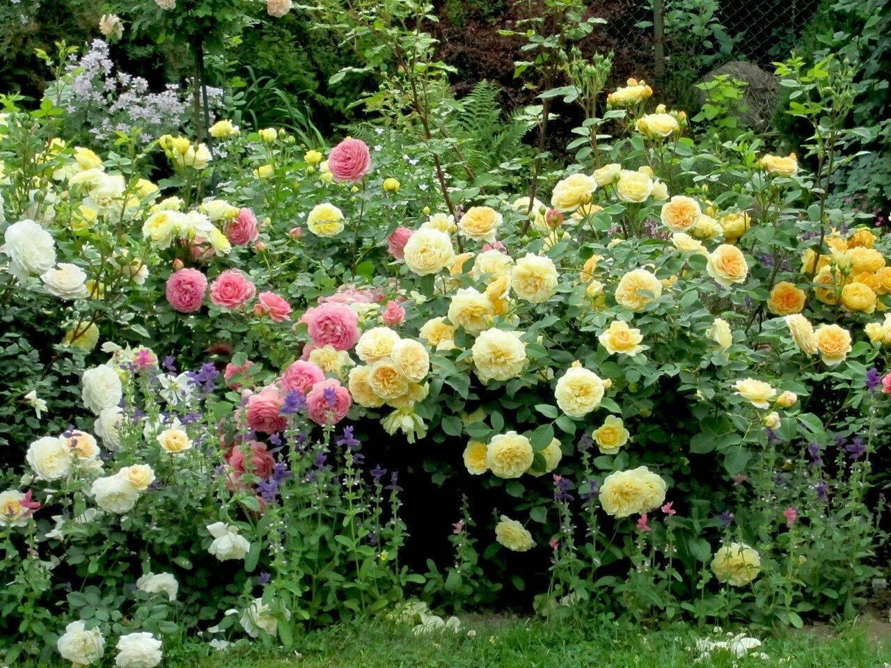 Роза «фламентанц» (24 фото): описание, посадка и уход за плетистым ландшафтным сортом роз, обрезка и выбор опоры, отзывы