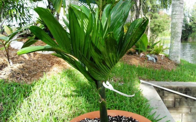 Арека: все об уходе за пальмой в домашних условиях