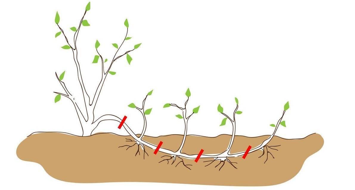 Выращивание лапчатника в открытом грунте. нюансы посадки и ухода