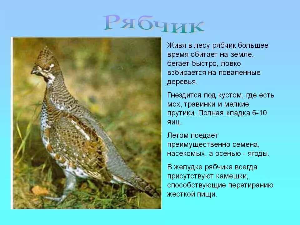 Птица рябчик обыкновенный — скромный житель лесного бора