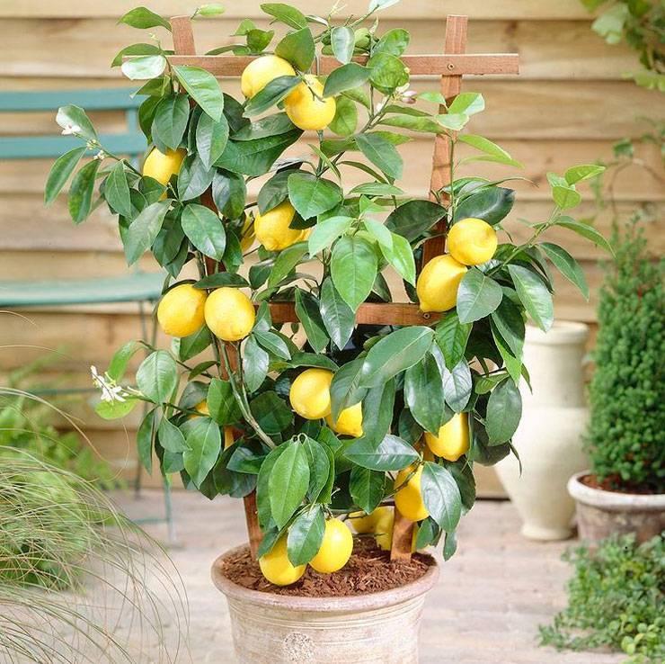 Как вырастить комнатный лимон из косточки