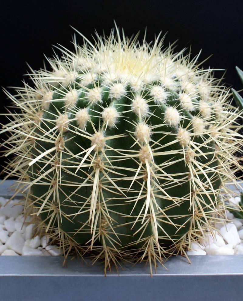 Эхинокактус грузони: уход в домашних условиях. советы для начинающих цветоводов