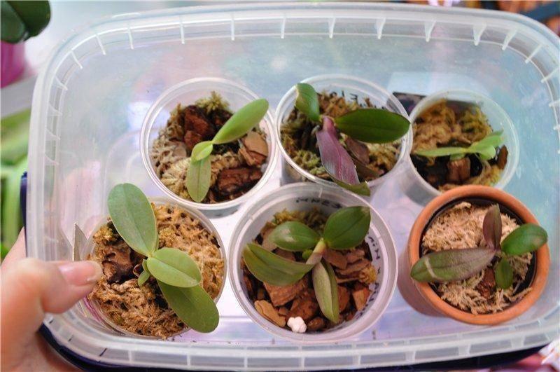 Красивый цветок броваллия - описание и фото комнатного растения, особенности ухода в домашних условиях