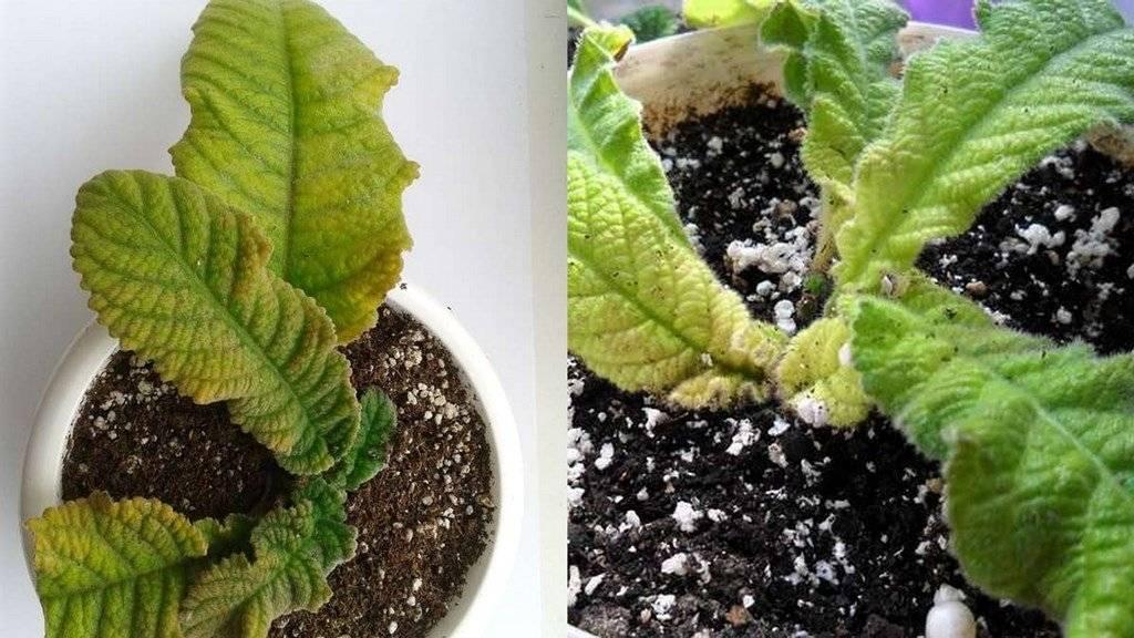 Стрептокарпус: выращиваем африканский «колокольчик» на подоконнике