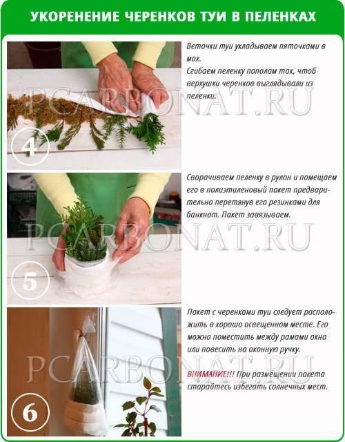 Как вырастить розмарин в горшке дома и получить максимальную пользу