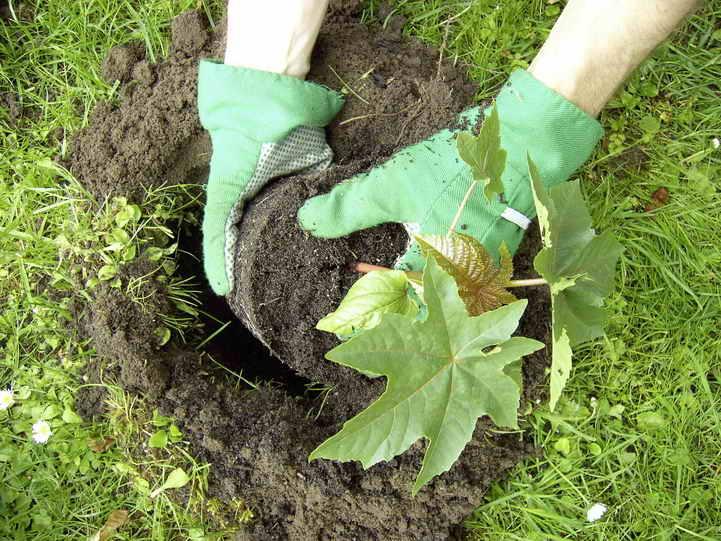 Клещевина: выращивание из семян, когда сажать - подробные пошаговые инструкции!