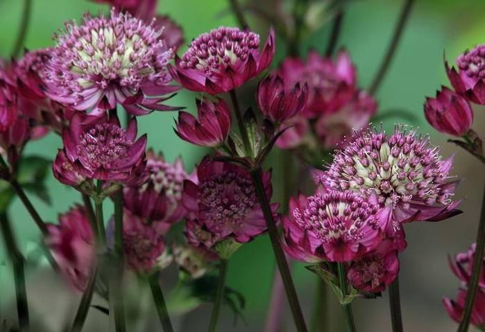 Астранция: выращивание из семян в открытом грунте