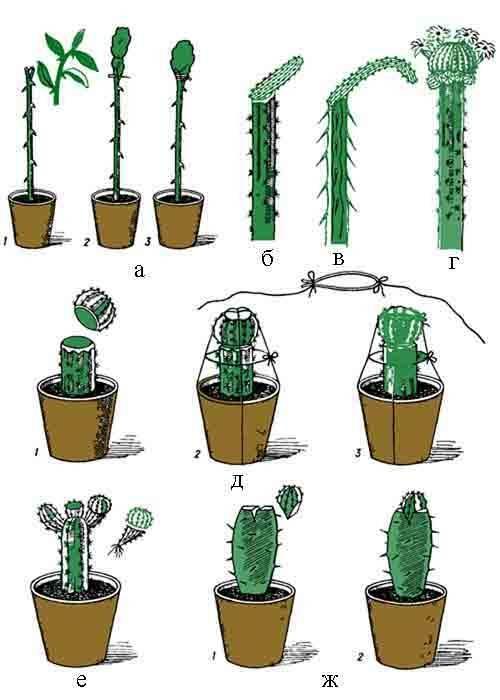Селеницереус: информация о кактусе