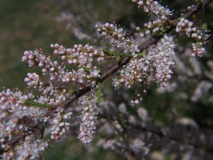 Тамарикс: посадка, уход и размножение в открытом грунте