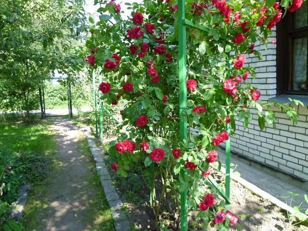 Плетистые розы: посадка и уход
