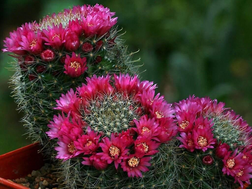Кактус маммиллярия (38 фото): виды с названиями. как правильно ухаживать в домашних условиях? уход во время цветения. как пересадить и размножить?