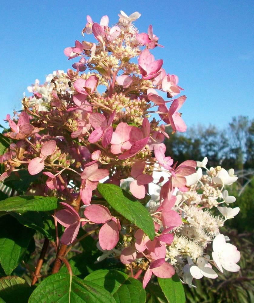 Гортензия метельчатая пинк даймонд: описание, посадка и уход