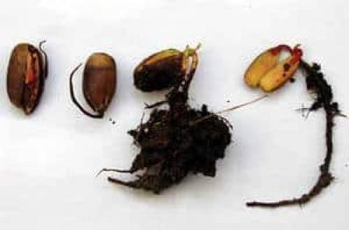 Как правильно посадить желудь, чтобы получить саженец дуба в домашних условиях?