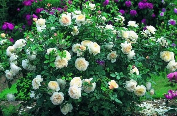 Парковые розы сорта и фото